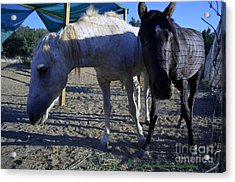 Rescued Mustangs Acrylic Print