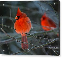 Resident Reds Acrylic Print