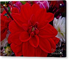 Resoundingly Red Acrylic Print