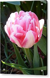 Resplendent Cherry Pink Tulip Acrylic Print by Lingfai Leung