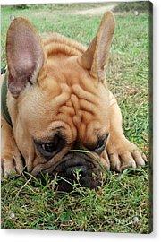Rest- French Bulldog Acrylic Print