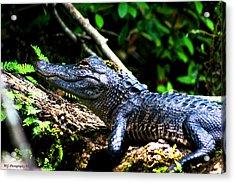 Resting Alligator  Acrylic Print