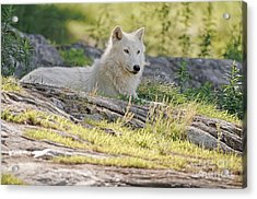 Acrylic Print featuring the photograph Resting Arctic Wolf by Wolves Only