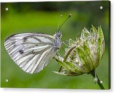Resting Butterfly Acrylic Print by Adam Budziarek