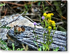 Resting Chipmunk  Acrylic Print by Rebecca Adams
