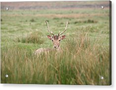 Resting Deer Acrylic Print by Mark Severn