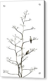 Resting Doves Acrylic Print by Darla Wood