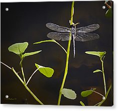 Resting Dragon Acrylic Print by Brian Wallace