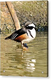 Resting Drake Hooded Merganser Acrylic Print by James Lewis