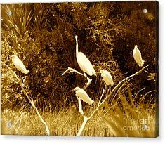Resting Flock Sepia Acrylic Print