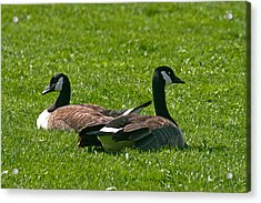 Resting Geese Acrylic Print by John Holloway