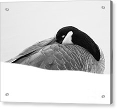 Acrylic Print featuring the photograph Resting Goose In Bw by Anita Oakley