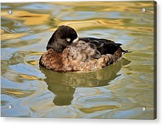 Resting Hen Scaup Acrylic Print by James Lewis