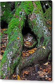 Resting Acrylic Print by Juergen Roth