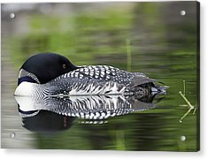 Resting Loon Acrylic Print
