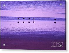 Avocets Resting In The Sunset Acrylic Print