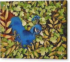 Resting Peacock Acrylic Print