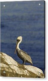 Resting Pelican Acrylic Print by Sebastian Musial