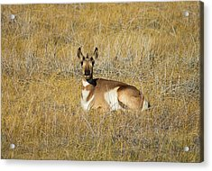 Resting Pronghorn Acrylic Print by Sarah Crites