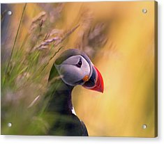 Resting Puffin Acrylic Print