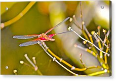 Resting Red Dragonfly Acrylic Print by Cyril Maza