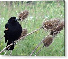 Resting Red-winged Blackbird  Acrylic Print by Lizbeth Bostrom