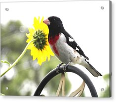 Resting Rose Breasted Grosbeak Acrylic Print by Belinda Lee