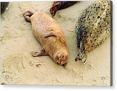 Acrylic Print featuring the photograph Resting Seal by Kathy Bassett