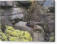 Acrylic Print featuring the photograph Resting Seal by Stuart Litoff