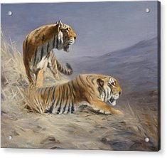 Resting Tigers Acrylic Print