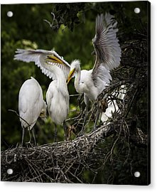 Restless Teenage Egrets Acrylic Print