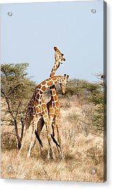 Reticulated Giraffes Giraffa Acrylic Print by Panoramic Images