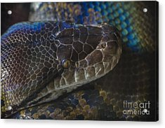 Reticulated Python With Rainbow Scales Acrylic Print