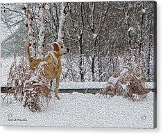 Retriever And Fresh Snowfall Acrylic Print by Gerald Marella