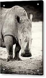 Rhino After The Rain Acrylic Print
