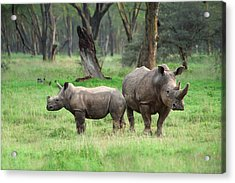 Rhino Family Acrylic Print by Sebastian Musial