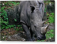 Rhino Acrylic Print by Rachael M