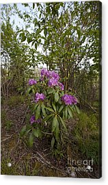Rhododendron 2 Acrylic Print