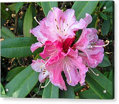 Rhododendron 3 Acrylic Print