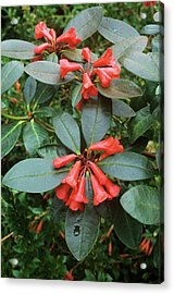 Rhododendron Atlanticum Flowers Acrylic Print by Alan Punton Esq/science Photo Library