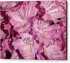 Rhododendron Bliss Acrylic Print by Sara  Raber