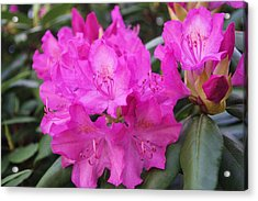 Rhododendron Acrylic Print by David Rizzo
