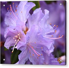 Rhododendron Flower Acrylic Print