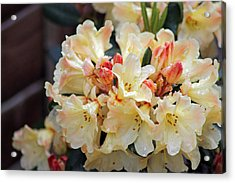 Rhododendron Nancy Evans Acrylic Print