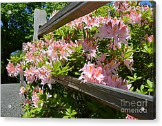 Rhododendrons In Tumwater Falls Park Acrylic Print