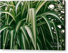 Ribbon Grass Acrylic Print