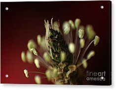 Ribwort Plantain  Acrylic Print by Eden Baed