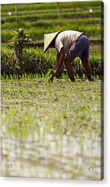 Acrylic Print featuring the photograph Rice Farmer - Bali by Matthew Onheiber