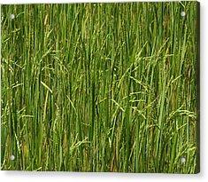 Rice Field At Lunuganga, Bentota Acrylic Print by Panoramic Images