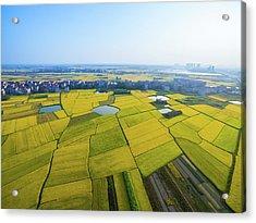 Rice Field Acrylic Print by Yangna